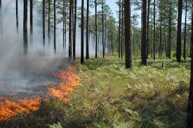 longleaf pine burn